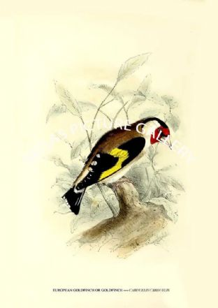 EUROPEAN GOLDFINCH OR GOLDFINCH ---- CARDUELIS CARDUELIS